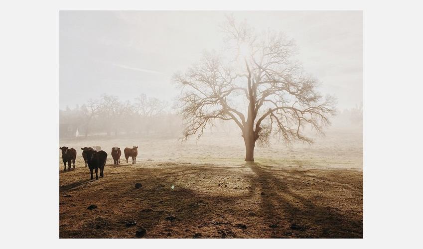 Jeremy-Cows-Farm